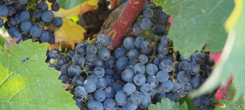 variedades de uva en la rioja