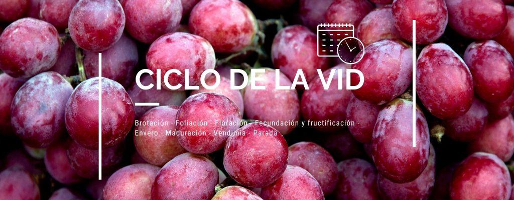 Ciclo de la uva